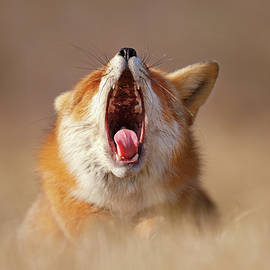 Roeselien Raimond - Lazy Fox is Lazy