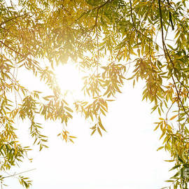 Leaves in sun - SK Pfphotography
