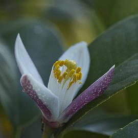 Morgan Wright - Lemon Blossom
