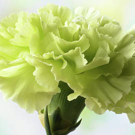 Terence Davis - Lemon Carnation