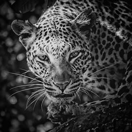 Jean Francois Gil - Leopard, Black And White