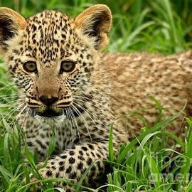 Blackwater Studio - Leopard Cub