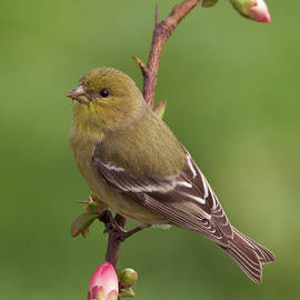 Doug Herr - Lesser Goldfinch