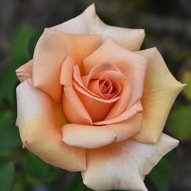 Linda Brody - Light Orange Rose I