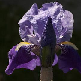 Doug Norkum - Lilac