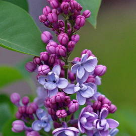 FLJohnson Photography - Lilac President Grevy
