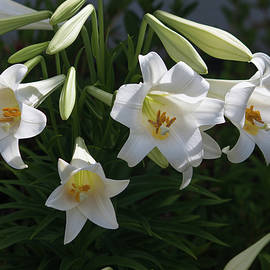 Suzanne Gaff - Lilies from Years Gone By