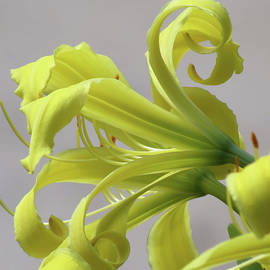 MTBobbins Photography - Lily Curls - Cropped - Daylily
