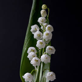 Patti Deters - Lily of the Valley on Black