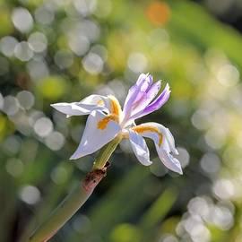 Carol Groenen - African Iris with Bokeh - Large
