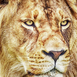 David Millenheft - Lion-The King of the Jungle