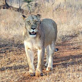 Pravine Chester - Lioness in Kruger
