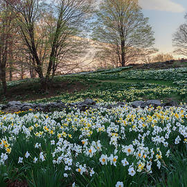 Bill Wakeley - Litchfield Daffodils Flowering Landscape