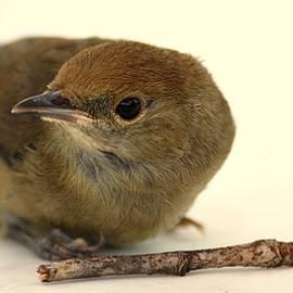 Pierre Van Dijk - Little Bird 2