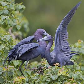 Bonnie Barry - Little Blue Heron Mates
