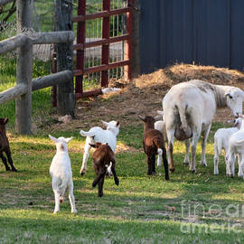 Nava  Thompson - Little Lambs