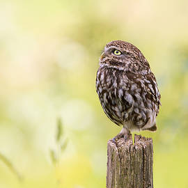 Roeselien Raimond - Little Owl Looking Up