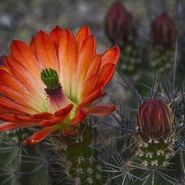Saija Lehtonen - Little Red Claret Cup Flower