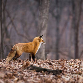 Andrea Silies - Little Red Fox
