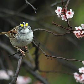 Trina Ansel - Little White Throated Sparrow