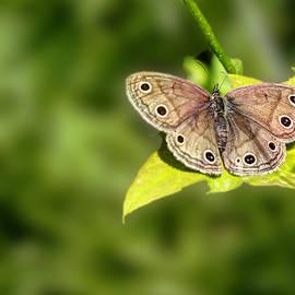 Mother Nature - Little Wood Satyr Butterfly - Megisto cymela