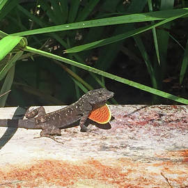 Aimee L Maher Photography and Art Visit ALMGallerydotcom - Lizard Puffing Throat