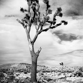 Alex Snay - Lone Joshua Tree