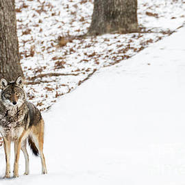 Andrea Silies - Lone Winter Coyote