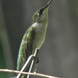 Earl Williams Jr - Look to the Heavens Young Male Ruby-throated Hummingbird