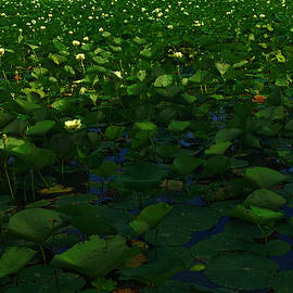 Cindy Boyd - Lotus Blossoms on Nippersink Lake