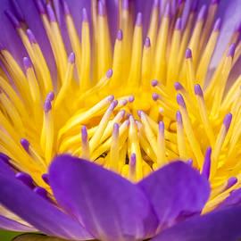 Jijo George - Lotus  Closeup