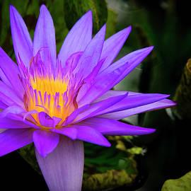 Phil Rispin - Lotus Flower
