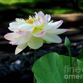 Gary Richards - Lotus in Bloom II