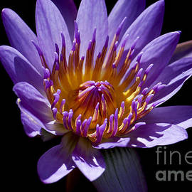 Ivete Basso Photography - Lotus Water Lily