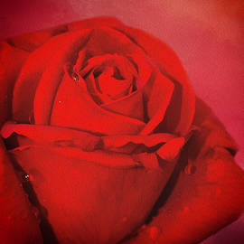 Love Is A Red Rose With Raindrops