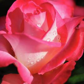 Haleh Mahbod - Love Rose
