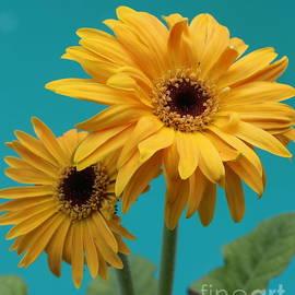 Dora Sofia Caputo Photographic Art and Design - Lovely in Yellow - Gerbera Daisies