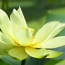 Lori Frisch - Lovely Lotus