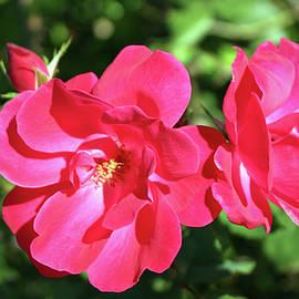 Cynthia Guinn - Lovely Roses