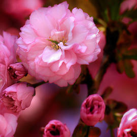 Shelley Neff - Lovely Spring Pink Cherry Blossoms