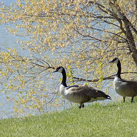 Penny Homontowski - Loving Geese