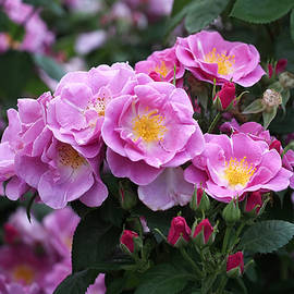 Rona Black - Lucky Floribunda Roses