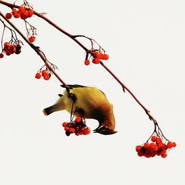 Lunchtime - Cedar Waxwing