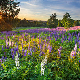 Christopher Whiton - Lupine Field at Sunset