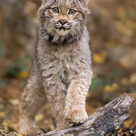 Jerry Fornarotto - Lynx Kit
