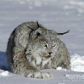 Wildlife Fine Art - Lynx - Snowshoes