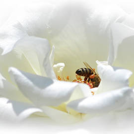 Olimpia Negura - White rose