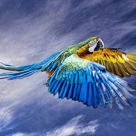 Brian Tarr - Macaw Flying