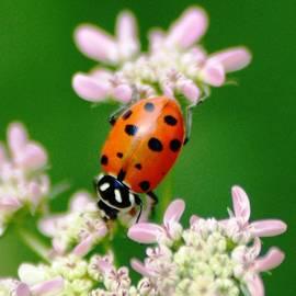 Meeli Sonn - Macro ladybug