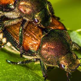 Robert Storost - Macro of Japanese Beetles 2